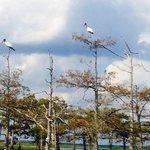 Wood storks on bald cypress tree