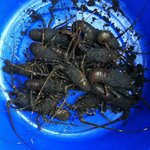 Lobsters caught that day for our dinner