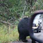 oso negro cruzando delante del coche amenos de 1 mt.