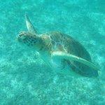 Turtles at Akumal