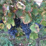 Domaine Faverot Grapes