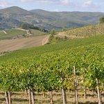 Vineyards covering the Chianti hills around Fattoria Poggerino.
