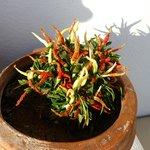 Cool chilli plants