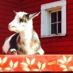 Resident goats