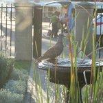dove at birdbath