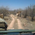 On entering the gates of the Reserve we stumbled across these giraffes