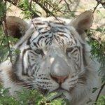 white tiger resident