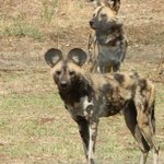 African Wild Dog residents