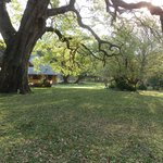 Beautiful jackalberry tree