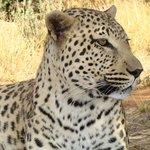 Leopard - Lulu