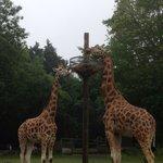 Giraffes at paignton zoo