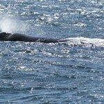 Whale in Hermanus Bay.