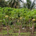 One of many Papaya Orchards