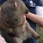 Wombat feeding/petting time