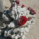 Corallo sulla spiaggia del Balenta a Gili Meno