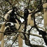 Colobus monkeys