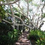 Banyan tree on pink walkway