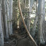 trail/path of tall Eucalyptus trees picture perfect