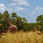 Retikulert giraff