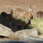 Deer coming to feed