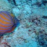 blue ring angelfish tokong batu site