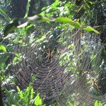 Web / Golden Orb spider