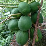 Papaya tree on property - as big as basketballs!