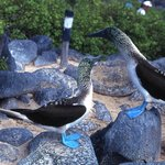 blue footed birds