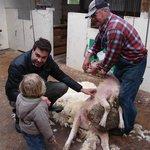 Sheep Getting a Hair Cut