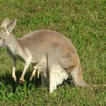 baby kangaroo in sack with foot and tail sticking out