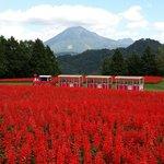 大山をバックにサルビアの花畑が見事!