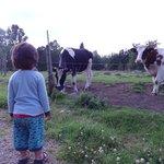Cows grazing outdoor