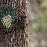 Woodpecker at feeder in Patton's Yard