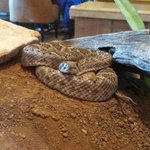 Rattle Snake in Lobby