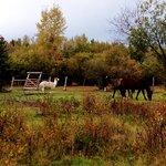 llama and horses