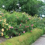 Shrub roses (a few of the hundreds of varieties)