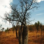 One of the MANY Boab trees