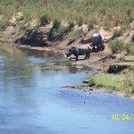 Rhinos at the river