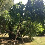 A rather nice mulberry tree in the grounds