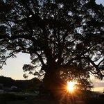 川古の大楠と夕日