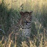 Leopards of Londolozi