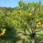 Los naranjos