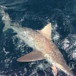 Big bull shark!!!!