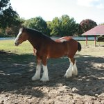 A Clydesdale