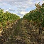 Vineyards on property