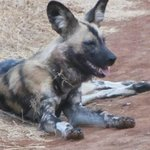 Wild Dog in Madikwe