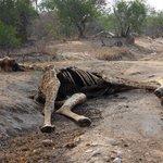 Giraffe Carcass