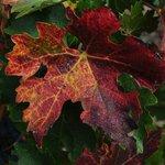 Crush season grape leaves