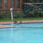 monkeys too swim in the hotel's swimming pool