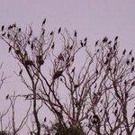 cormorant rookerie